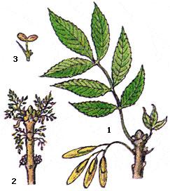 ясень дерево картинка